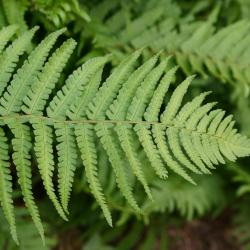 Dryopteris affinis (Lowe) Fraser-Jenk. (golden-scale male fern), leaves