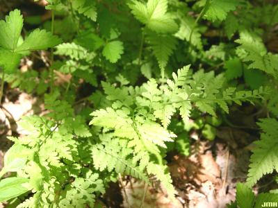 Cystopteris protrusa ssp. (lowland fragile fern), close-up of fern frond with leaves