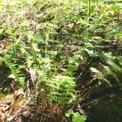 Dryopteris intermedia ssp. (intermediate wood fern), habit