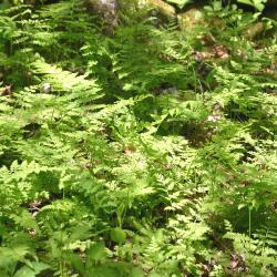 Cystopteris protrusa ssp. (lowland fragile fern),  fern fronds