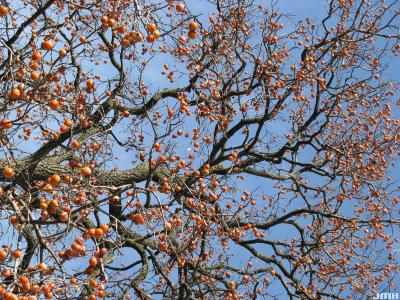 Diospyros virginiana L. (persimmon) upper branches with fruit