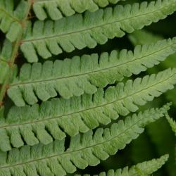 Dryopteris affinis (Lowe) Fraser-Jenk. (golden-scale male fern), close-up of leaves