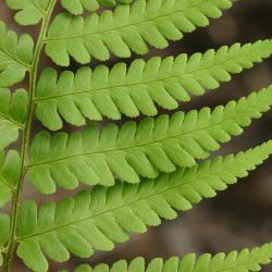 Dryopteris goldiana (Hook. ex Goldie) A. Gray (Goldie's wood fern), close-up of leaves