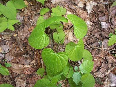 Dioscorea villosa L. (wild yam), leaves