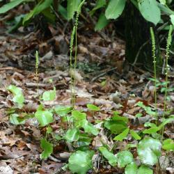Galax urceolata (Poir.) Brummitt (wandflower), green leaves at base of flower spikes