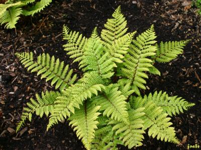 Polystichum polyblepharum (Roem.) Presl. (Japanese holly fern), habit