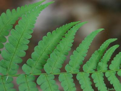 Dryopteris marginalis (L.) A. Gray (marginal shield fern), close-up of leaves