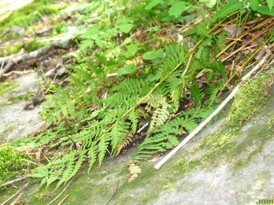 Dryopteris intermedia ssp. (intermediate wood fern), branches, leaves