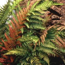 Dryopteris erythrosora (D. C. Eaton) Kuntze (Japanese shield fern), habit, leaves