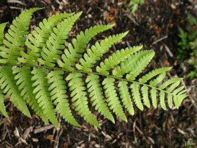 Dryopteris goldiana (Hook. ex Goldie) A. Gray (Goldie's wood fern), leaves