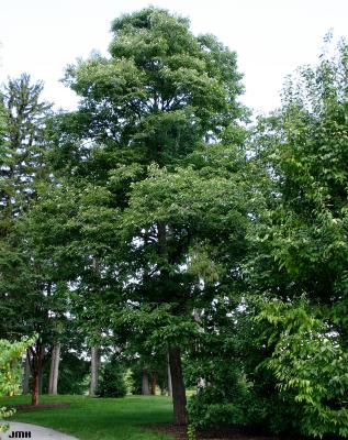 Diospyros virginiana L. (persimmon), growth habit, tree form