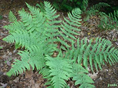 Dryopteris marginalis (L.) A. Gray (marginal shield fern), habit