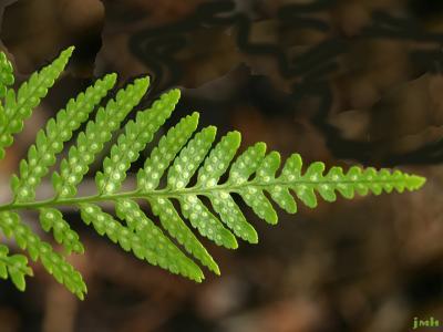 Dryopteris goldiana (Hook. ex Goldie) A. Gray (Goldie's wood fern), close-up leaves