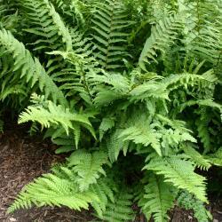 Dryopteris affinis (Lowe) Fraser-Jenk. (golden-scale male fern), habit
