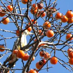 Diospyros virginiana L. (persimmon), upper branches with fruit