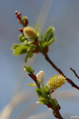 Shepherdia canadensis (L.) Nutt. (Canadian buffaloberry), flowers