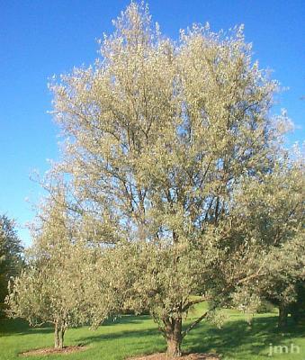Elaeagnus angustifolia L. (russian-olive), growth habit, tree form