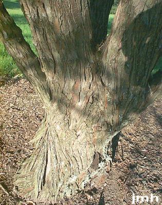 Elaeagnus angustifolia L. (russian-olive), bark