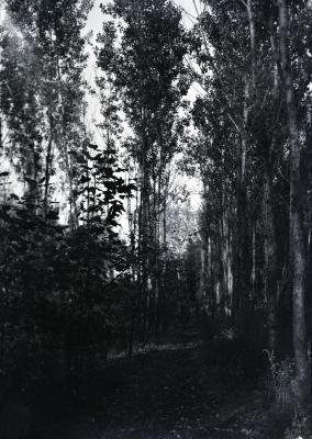 Path among poplars near DuPage River