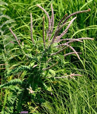 Amorpha canescens Pursh (leadplant), growth habit