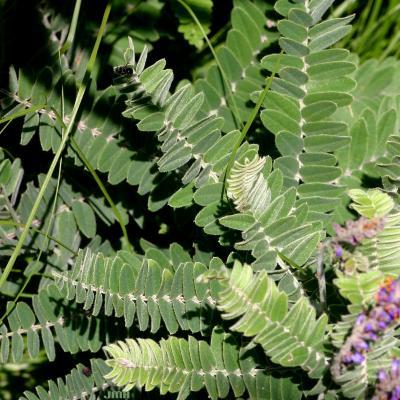 Amorpha canescens Pursh (leadplant), leaves
