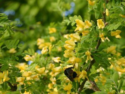 Caragana arborescens Lam. (Siberian pea-shrub), flowers
