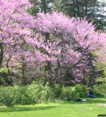 Cercis canadensis L. (redbud), growth habit, tree form, photographer in frame