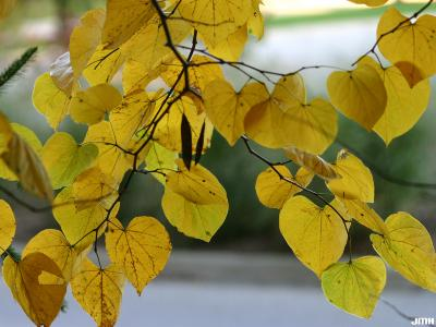 Cercis canadensis L. (redbud), leaves, fall color