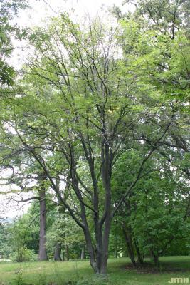 Cladrastis kentukea (Dum.-Cours.) Rudd (yellowwood), growth habit, tree form