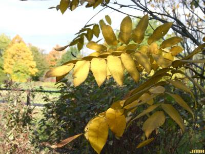 Cladrastis kentukea (Dum.-Cours.) Rudd (yellowwood), leaves
