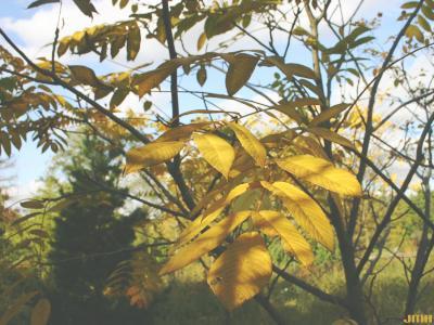 Cladrastis kentukea (Dum.-Cours.) Rudd (yellowwood), leaves, fall color
