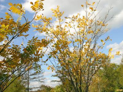 Cladrastis kentukea (Dum.-Cours.) Rudd (yellowwood), growth habit, tree form, fall color