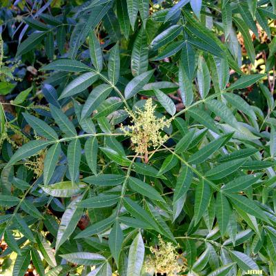 Sophora japonica L. (scholar tree), leaves