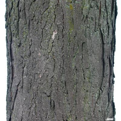 Gleditsia triacanthos f. inermis Willd. (thornless honey-locust), bark