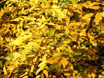 Gleditsia triacanthos f. inermis Willd. (thornless honey-locust), leaves, fall color