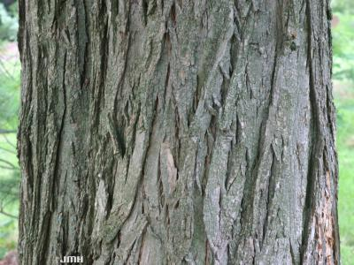 Robinia pseudoacacia L. (black locust), bark