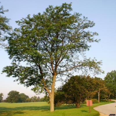 Gleditsia triacanthos f. inermis Willd. (thornless honey-locust), growth habit, tree form