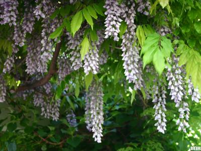 Wisteria sinensis (Sims) Sweet (Chinese wisteria), vine, flowers
