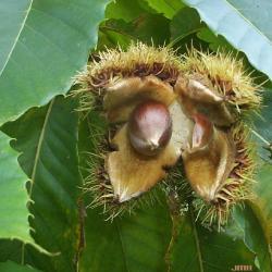 Castanea dentata (Marsh.) Borkh. (American chestnut), fruit (nut)