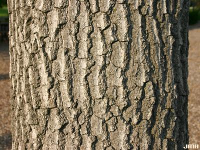Quercus coccinea Münchh. (SCARLET OAK), bark