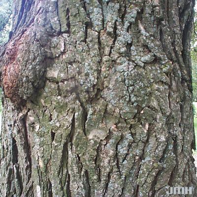 Quercus bicolor Willd. (SWAMP WHITE OAK), bark