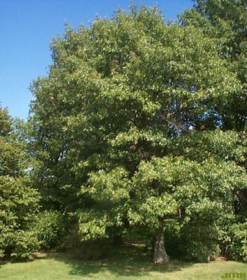 Quercus coccinea Münchh. (SCARLET OAK), growth habit, tree form