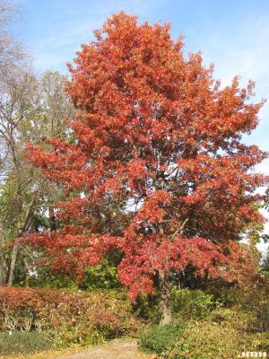 Quercus ellipsoidalis E.J.Hill (HILL'S OAK), growth habit, tree form, fall color