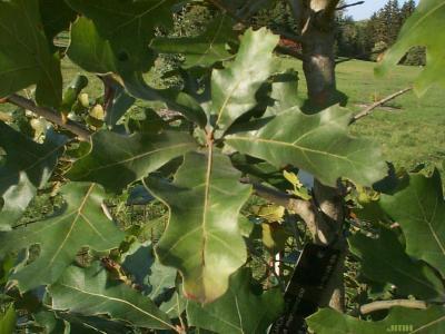 Quercus marilandica münchh. (blackjack oak), leaves