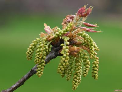 Quercus rubra L. (northern red oak), flowers
