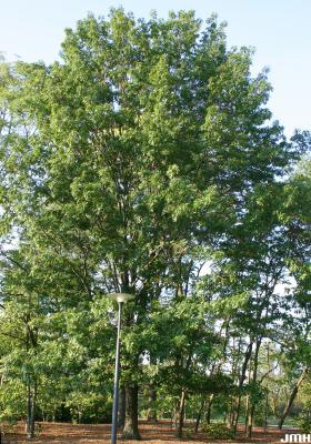 Quercus rubra L. (northern red oak), growth habit, tree form
