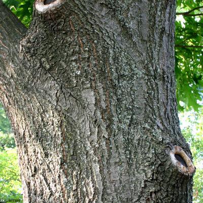Quercus rubra L. (northern red oak), bark