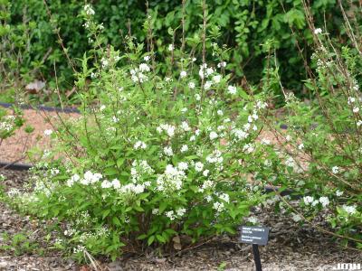 Deutzia x lemoinei 'Compacta' (Compact Lemoine's deutzia), growth habit, shrub form