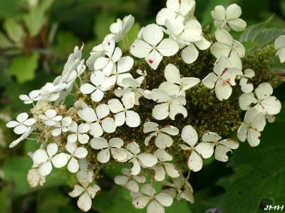 Hydrangea quercifolia W. Bartram (oak-leaved hydrangea), close-up of flowers