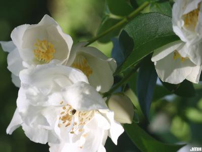 Philadelphus 'Natchez' (Natchez mock-orange), flower